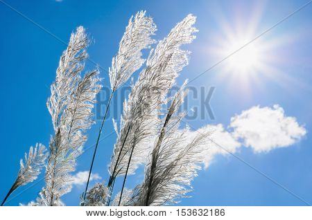 Whit flower grass and sunshine with blue sky background