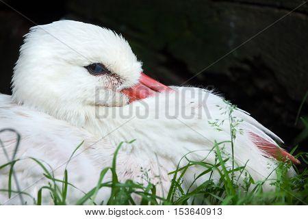 White stork (Ciconia ciconia). Wildlife animal.