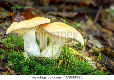 Hydnum Repandum. Edible Mushrooms With Excellent Taste
