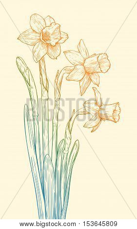 Vector Colored Narcissus.