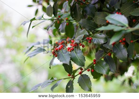 Seasonal - holly tree branch with red berries