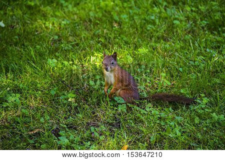 Young Eastern Fox squirrel in the garden. Red squirrel. Squirrel eats on a grass meadow. Small ginger squirrel in a park. Close-up squirrel on lawn. Squirrel sitting on lawn.