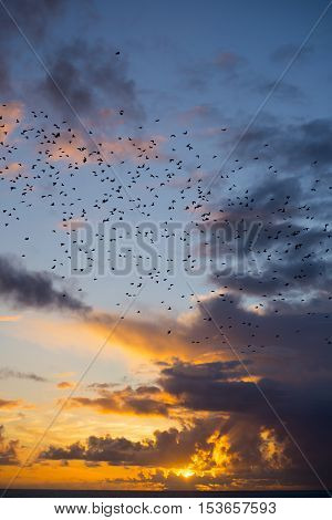 flocks of starlings flying into a bright yellow sunset sky in the wild atlantic way