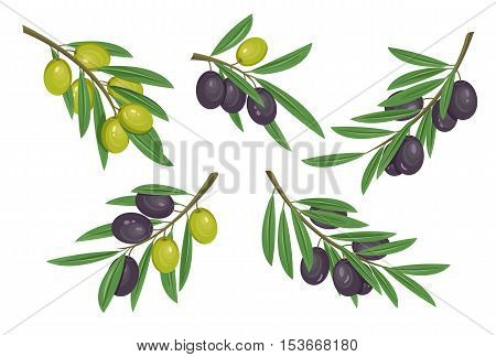 Agriculture olive branch with ripe and raw berries with bleaks.