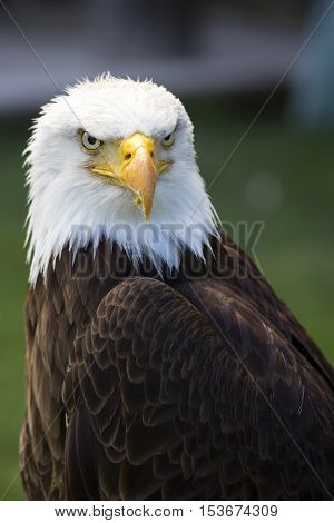 Portrait of a beautiful north american bald eagle.