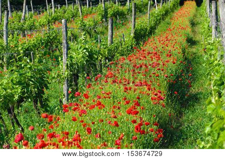 Spring season landscape. Tokaj wine region in Hungary. Vineyard in spring. Poppies. Hungarian countryside. Red flowers. Warm dry calm weather.