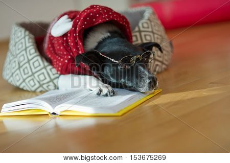Cute black and white dog wearing glasses and red suit on his couch in the middle of an empty room. She put her paws and head on an open book as if tired of reading. This is a joke dog owners.