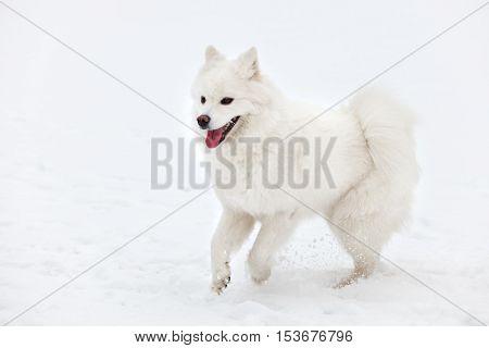 white Samoyed dog walks through the snow