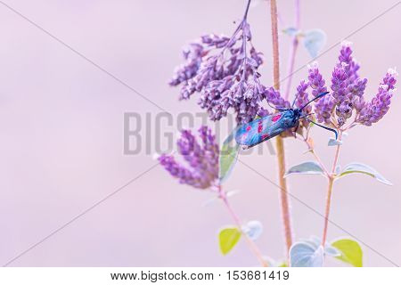 Pastel Background With Five Spot Burnet Moth