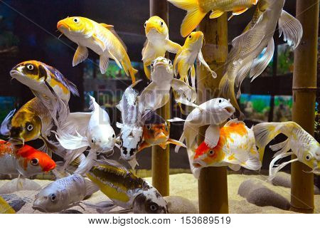 carp. aquarium goldfish carp. Bright gold and red carp swim in clear aquarium. aquarium goldfish