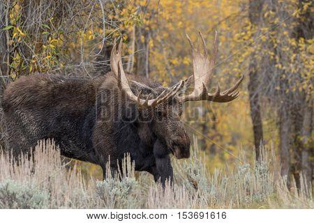 a big bull shiras moose during the fall rut