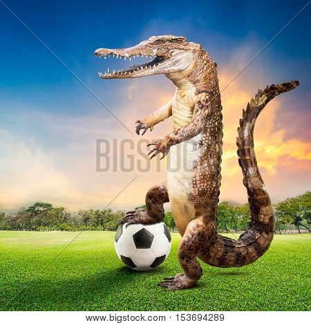 Taxidermy crocodile in the act of soccer player at the natural ground for sports on sunset background