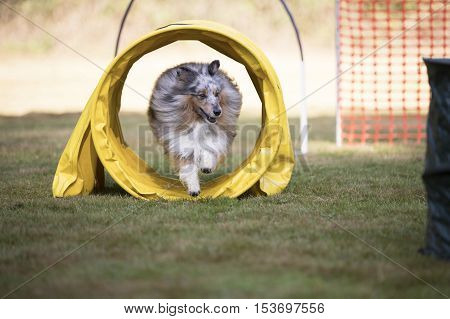 Shetland Sheepdog, Sheltie, in a training hoopers