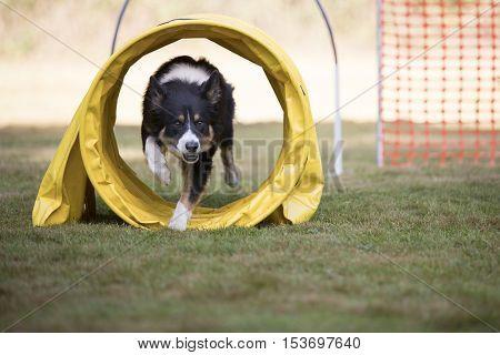 Dog, Border Collie, iin tunnel training hoopers