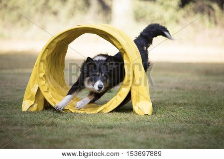 Dog, Border Collie running through agility tunnel