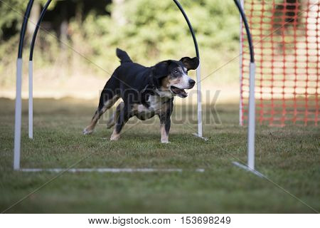 Dog, Appenzeller Mountain Dog at training hoopers