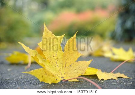 Maple leaf on the earth against autumn. A close up.