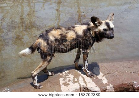 African wild dog (Lycaon) is carnivorous mammal of canine family, closest relative of red wolf. African wild dog is more like hyena. African wild dog lives in Savannah and hunts in packs.