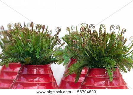 Curly leaves of fern in red ceramic vases on white background