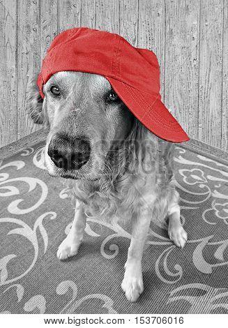 golden retriever wearing red baseball cap sideways