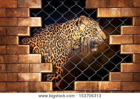 Young leopard internal the cage in concept of resist torture and torture the wildlife
