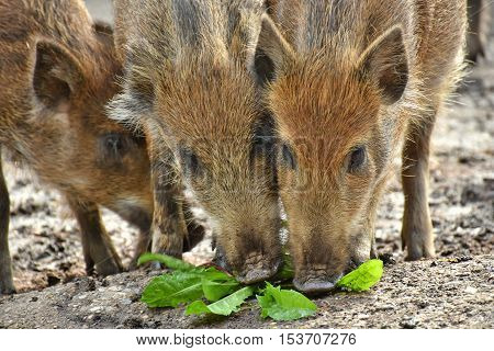 three young boars foraging for fresh food