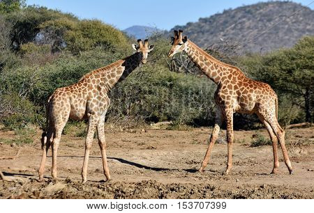 Picture of two giraffes in Madikwe game reserve,South Africa.