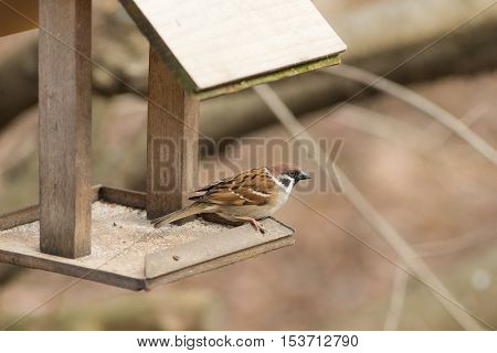 Portrait of a sparrow sitting on a wooden trough