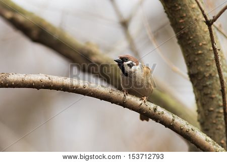 portrait of curious sparrows on a branch