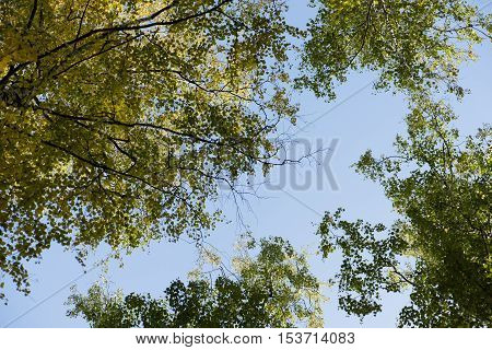Blue sky. Crones of trees. Birch Grove. Green trees.