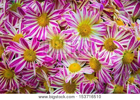 Pattern from Vibrant Gerbera pink white gerbera Flowers Wallpaper for background texture.