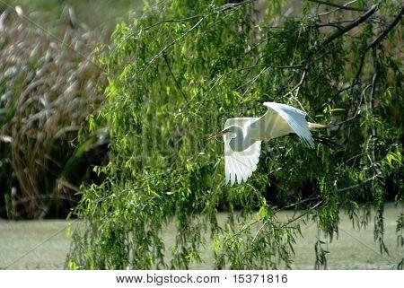 Great Egret In Flight Closeup