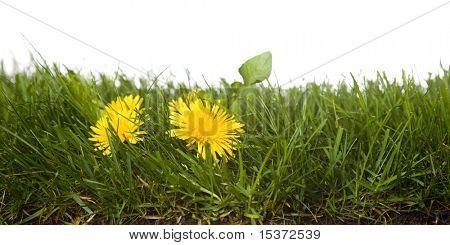 strip of grass with dandelion,  isolated on white background.