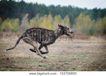 Coursing. Irish Wolfhound dog runs across the field. Autumn day poster