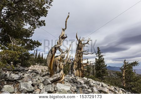 Ancient Bristlecone Pines in Great Basin National Park in Northern Nevada.  Bristlecone Pines are the oldest trees in the world.