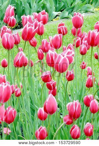 The carpet of tulips in spring in Kingston Canada