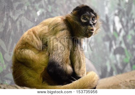 A Spider monkey resting on the rock