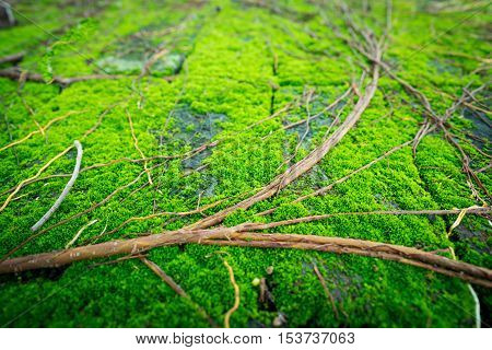 the very wet brick that full of moss and a group of rootlet of banyan tree.