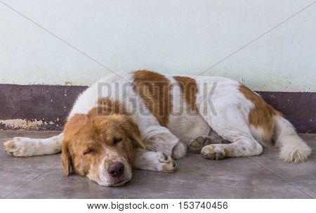 Sleepy dog. Brown and white color dog sleep on the concrete floor