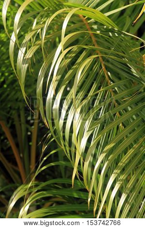 Leaves of palm tree, nature background, tropical forest