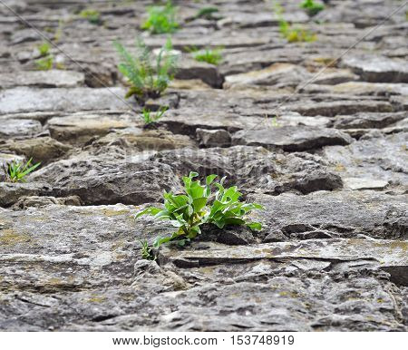 Close up of old cobblestone street and bright green wild grass. The concept of drought. Cracked dry earth and green grass Ancient cobblestone road. Stone texture for banners, flyers and other design.