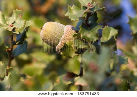 Native evergreen mediterranean plant - kermes oak Quercus coccifera . Acorn. Cyprus variegated bush forest