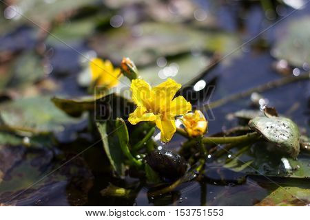 Yellow flower of aquatic lake plant Nymphoides peltata. Synonym of Villarsia nymphaeoides. Endangered species