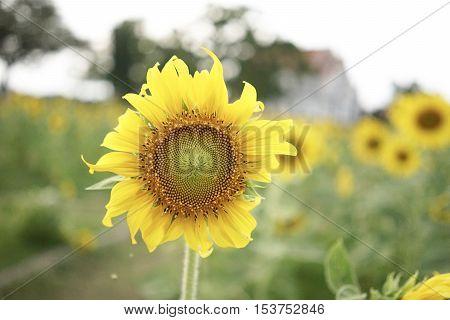 sunflower, nature, plaint, evening, flower, yellow, farm