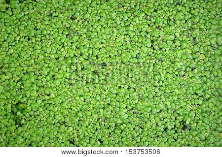 The texture of the green marsh duckweed closeup.