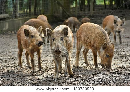 sounder of young boars foraging for food in the mud