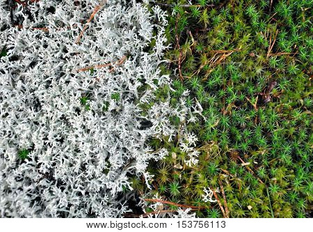 Natural background texture. The border of white and green moss in the forest.