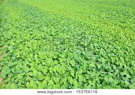 Texture field with green fodder beet in perspective.