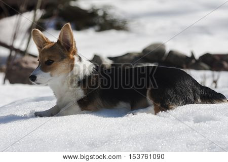 a young corgi puppy chilling down in snow