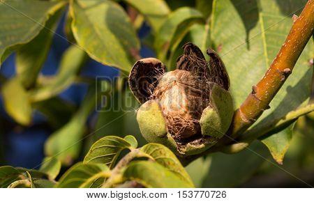 Ripe nuts of a Walnut tree. Close up